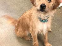 My story I am a male Cairn Terrier/Border Terrier type.