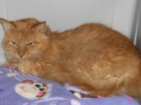 Meet Thorin a DMH red tabby male cat. He is a Loving