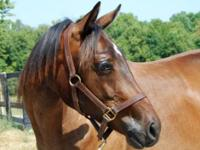 Thoroughbred - Anna - Large - Young - Female - Horse