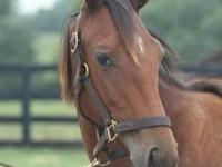 Thoroughbred - Breeze - Large - Adult - Male - Horse