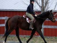 Thoroughbred - Cash - Medium - Adult - Male - Horse