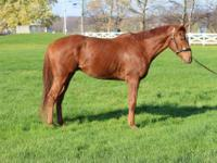 Thoroughbred - Comment Allez Voos - Large - Young -