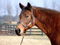 Thoroughbred - Daisy - Large - Adult - Female - Horse