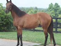 Thoroughbred - Derby - Large - Adult - Female - Horse