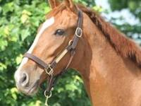 Thoroughbred - Donna - Large - Adult - Female - Horse