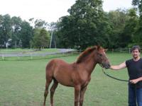 This thoroughbred filly, chestnut, was bred and is