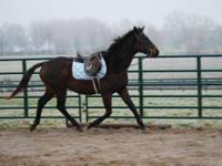 Thoroughbred - Franklin - Large - Senior - Male -