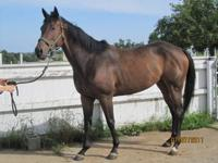Thoroughbred - Gidget - Large - Young - Female - Horse