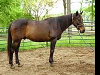 Thoroughbred - Hudson - Large - Young - Male - Horse