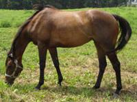 Thoroughbred - Ivy - Medium - Adult - Female - Horse
