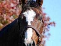 Thoroughbred - James - Large - Adult - Male - Horse