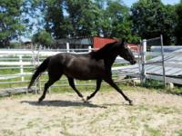 Thoroughbred - Jasmine - Large - Young - Female -