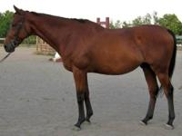 Thoroughbred - Lazarus - Large - Adult - Male - Horse