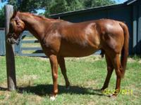 Thoroughbred - Little Richard - Large - Adult - Male -