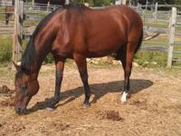 Thoroughbred - Lola - Medium - Adult - Female - Horse