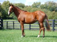 Thoroughbred - Lulu - Large - Young - Female - Horse