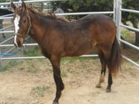 Thoroughbred - Maverick - Medium - Young - Male -