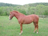 Thoroughbred - Naomi - Large - Young - Female - Horse