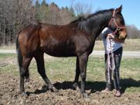 Thoroughbred - Prince Charmer - Large - Young - Male -