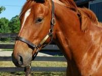 Thoroughbred - Sampson - Large - Young - Male - Horse