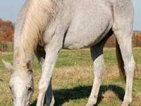Thoroughbred - Semi - Medium - Senior - Male - Horse