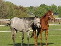 Thoroughbred - Silver Belle - Large - Young - Female -