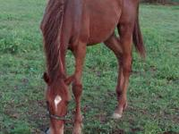 Thoroughbred - Sneaky - Extra Large - Young - Male -