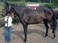 Thoroughbred - Sonny - Medium - Adult - Male - Horse