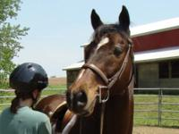 Thoroughbred - Sultan - Medium - Adult - Male - Horse