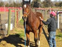 Thoroughbred - Tebow - Large - Adult - Male - Horse