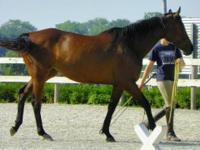Thoroughbred - Tess - Large - Adult - Female - Horse