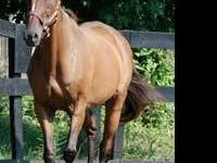Thoroughbred - Tucker - Large - Senior - Male - Horse