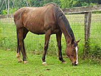 Thoroughbred - Cleo - Medium - Adult - Female - Horse