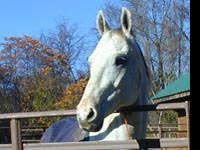 Thoroughbred - Ghost - Extra Large - Adult - Male -