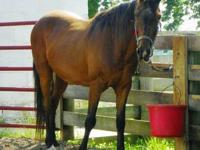 Thoroughbred - Larry - Large - Adult - Male - Horse