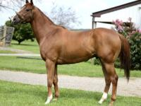 Thoroughbred - Street Contender - Medium - Adult - Male
