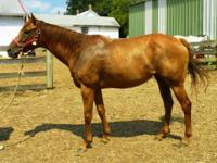 Thoroughbred - Zoey - Large - Young - Female - Horse 8