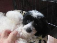 8 weeks old Black & & white toy male Maltipoo