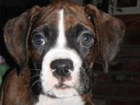 Three happy healthy boxers ready to find a home they