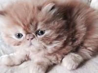 We have offered 3 beloved red Persian kittycats. They