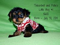 Tinkerbell and Petie had three lovable yorkie children