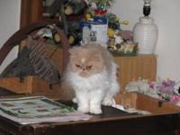 I have 3 grown Adult Persians 2 Females that are not