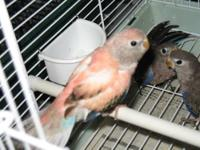 Three baby Bourkes grasskeets. Parent raised, getting