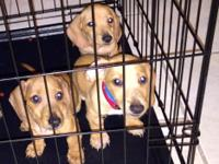 I have three beautiful miniature dachshund puppies that