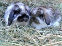 pure bred holland lops,netherland dwarf and jersey