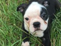 Hello I have three CKC registered Boston terrier