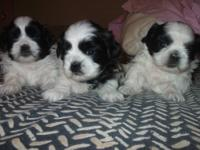 We have two cute little shih tzu puppies for sale, just