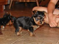 My Yorkie terrier dog had three puppies( 2 males and 1