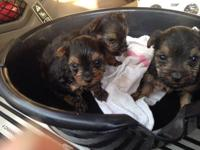 My Yorkie terrier dog had three puppies( 2 males