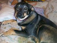 Butch, a pure breed Australian Shepherd, 4 years old,